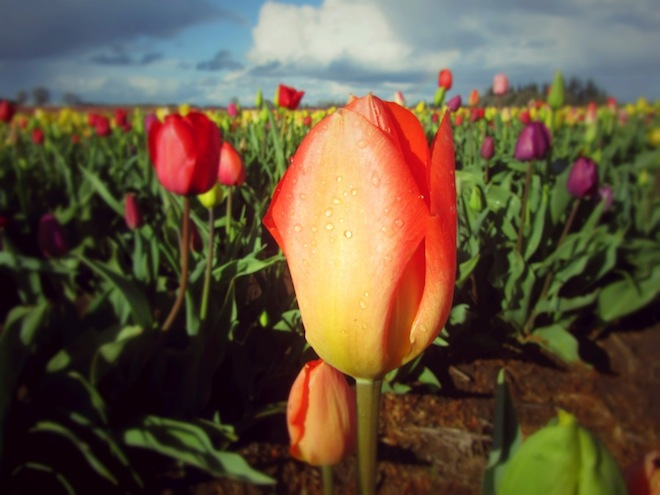 tulip farm oregon 1