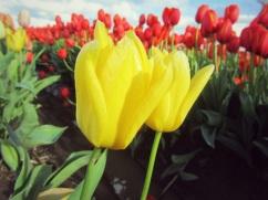 tulip farm oregon 11