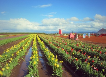 tulip farm oregon 5