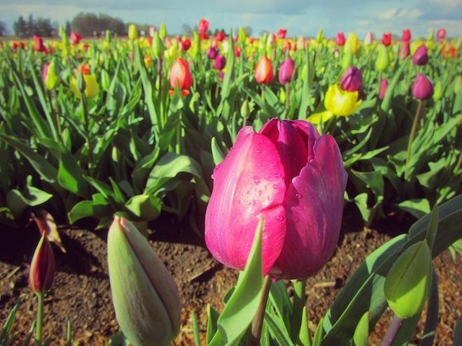 Tulips in Woodburn, Oregon