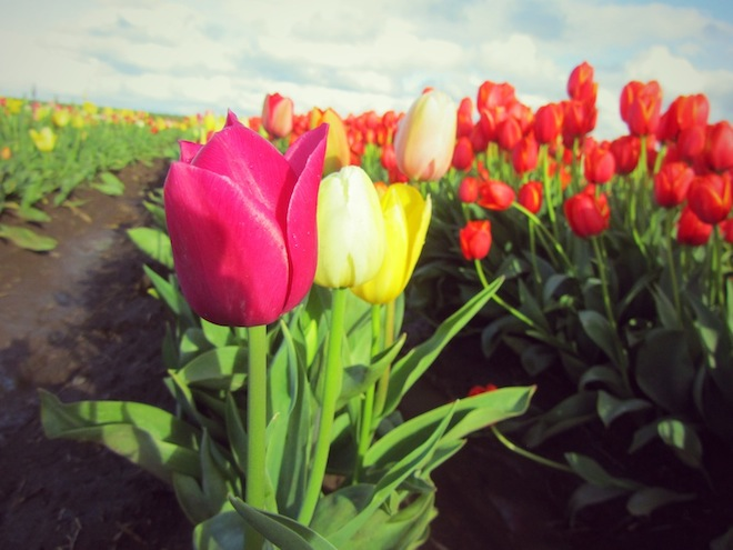 tulip farm oregon 12