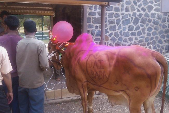 cowssamadhi1