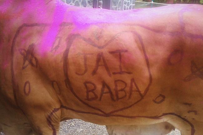 cowssamadhi2