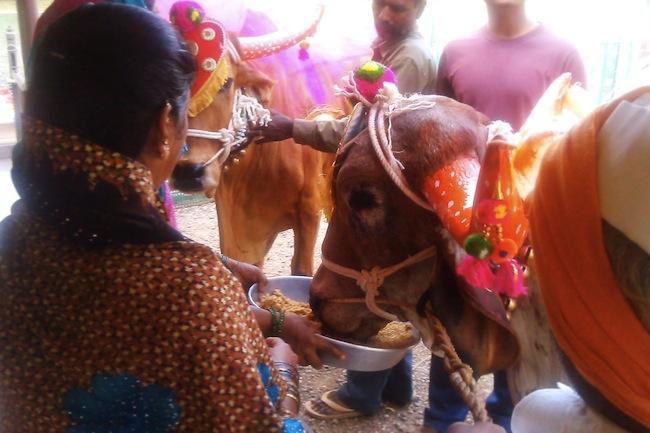 cowsprasad1