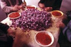 harvesting saffron