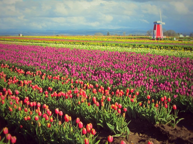 tulip farm oregon 7