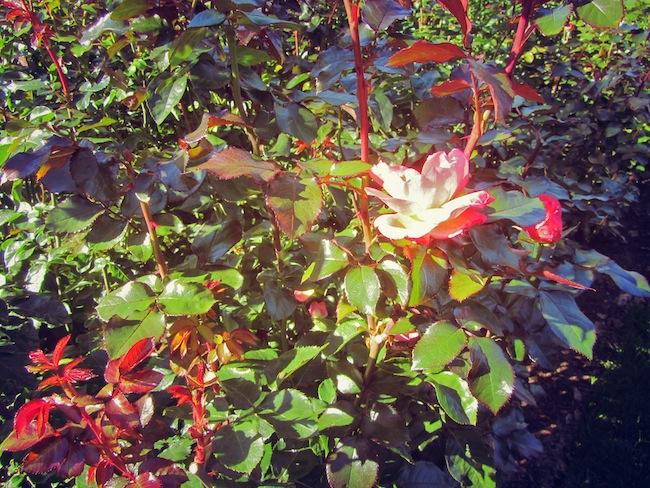 washington park rose test garden
