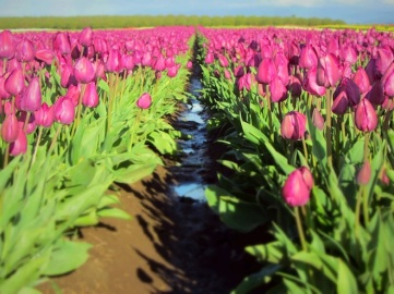 tulip farm oregon 6