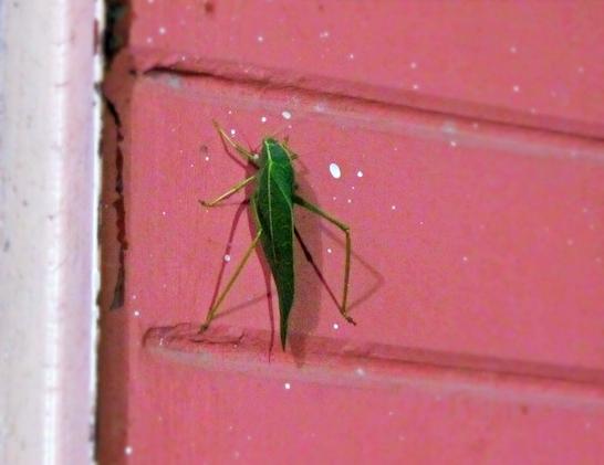 leaf bug katydid