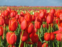 tulip farm oregon 9